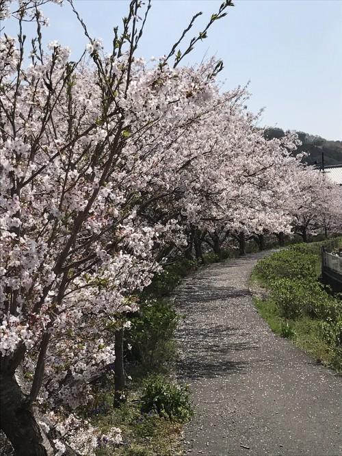 桜散策コース